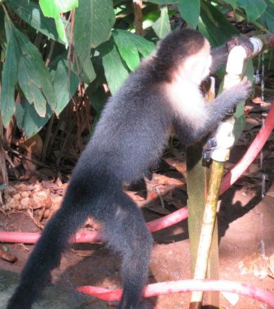 singe de honduras 1024x768 400x450 - Honduras