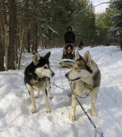 chien de traineau 768x1024 400x450 - Québec