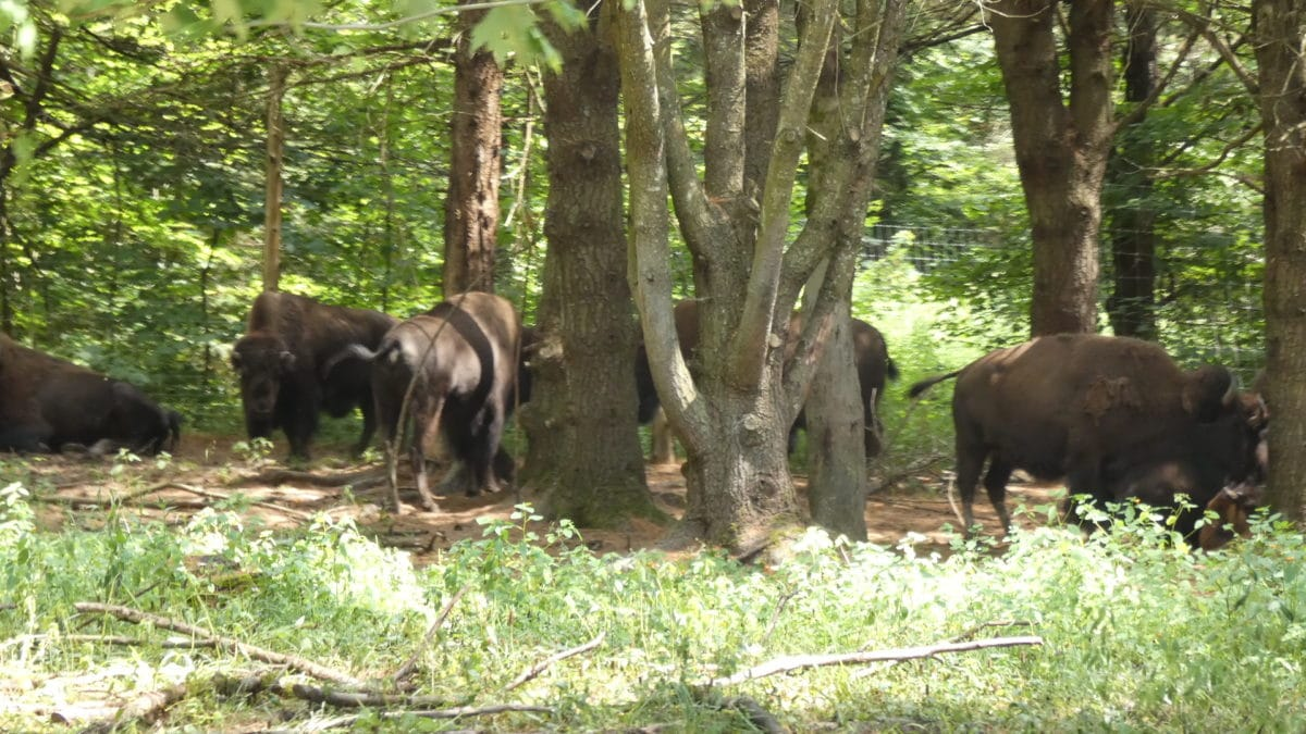 Bisons Parc Oméga VoyagesPIA - Châteauguay