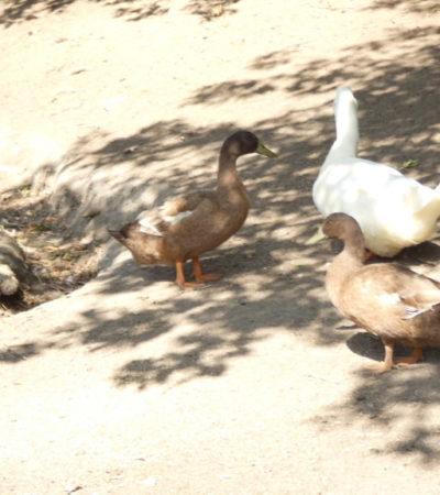 Canards de la ferme du Parc Oméga VoyagesPIA 1024x576 400x450 - Châteauguay