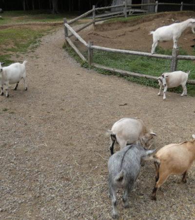 Chèvres ferme Parc Oméga VoyagesPIA 1024x576 400x450 - Châteauguay