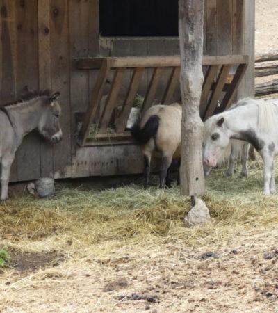 ane et poneys de la ferme d antan du parc oméga voyagespia 1024x576 400x450 - Châteauguay