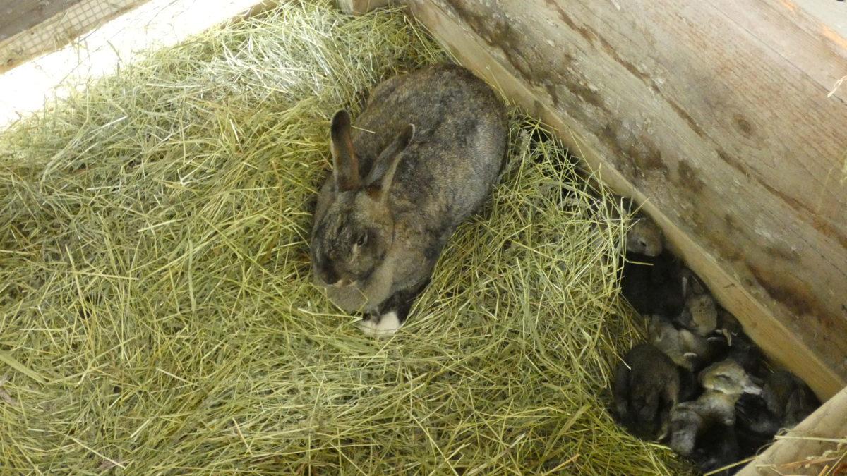 lapine et ses lapereaux ferme d antan du parc oméga voyagespia - Châteauguay