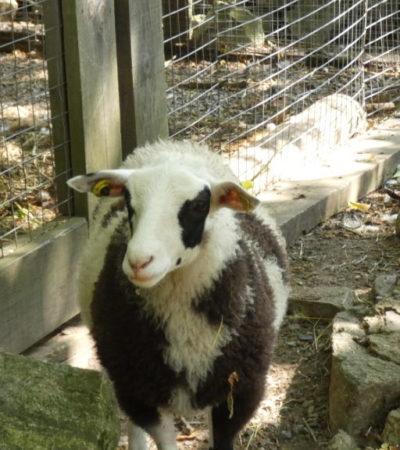 mouton de face de la ferme d antan du parc oméga voyagespia 1024x576 400x450 - Châteauguay