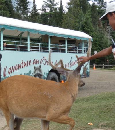 toucher les cornes d un cerf au parc oméga voyagespia 1024x576 400x450 - Châteauguay