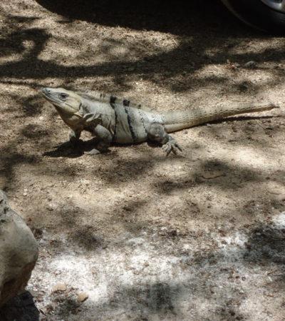 Iguane à Chikin Ha au Mexique VoyagesPIA 1024x768 400x450 - Cancun