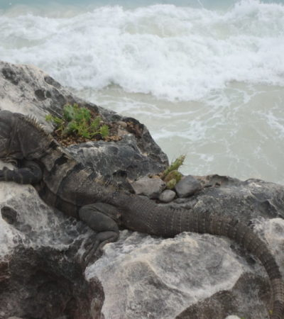 Lézard Iguane de Tulum au Mexique VoyagesPIA 1024x768 400x450 - Cancun