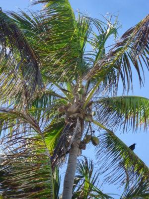Palmier à la plage de Playa Del Carmen au Mexique VoyagesPIA 768x1024 300x400 - Cancun