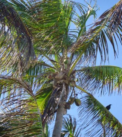 Palmier à la plage de Playa Del Carmen au Mexique VoyagesPIA 768x1024 400x450 - Cancun