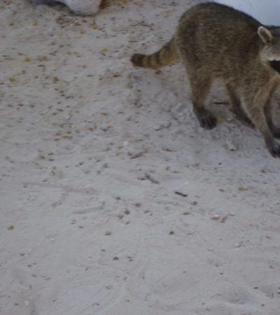 Parc Xcaret raton laveur à Playa Del Carmen au Mexique VoyagesPIA 1024x768 400x450 - Playa Del Carmen