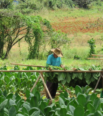 Agriculteur de tabac à Vinales Cuba VoyagesPIA 1024x768 400x450 - Viñales