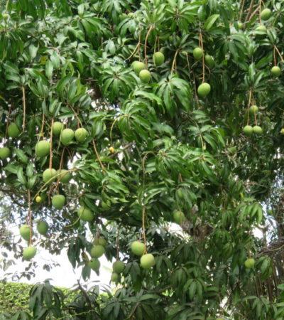 Arbre fruitier à Vinales Cuba VoyagesPIA 1024x768 400x450 - Viñales