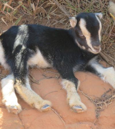 Chèvre de Vinales à Cuba 1024x768 400x450 - Viñales