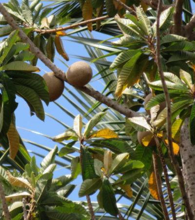 Fruits mamey de Vinales Cuba VoyagesPIA 1024x768 400x450 - Viñales